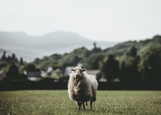 yarn-merino-sheep